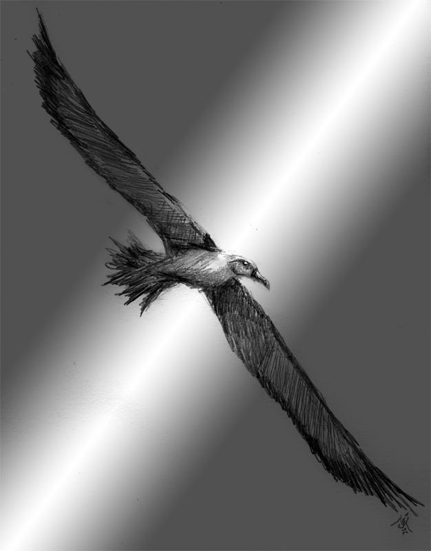 13_07_4206s_Albatross001_BW_enh_800